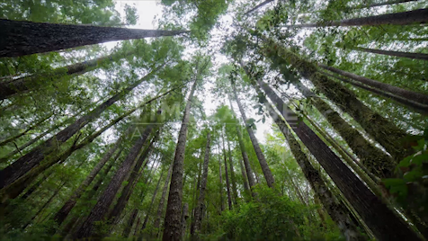 Time-lapse Oregon: Redwood Trees Tilt Down