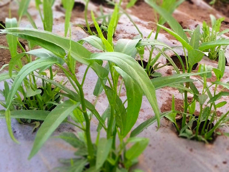Baby Kangkung Water Spinach
