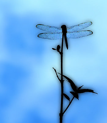Blu Dragonfly by Grace Dillon