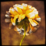 Golden White Dahlia 3