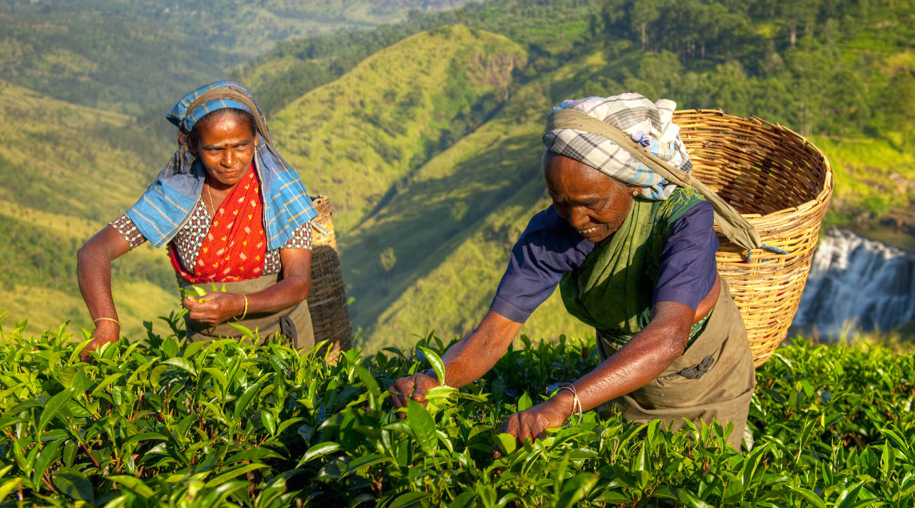 Tea pickers in Darjeeling India picking Chateau Rouge organic Darjeeling tea