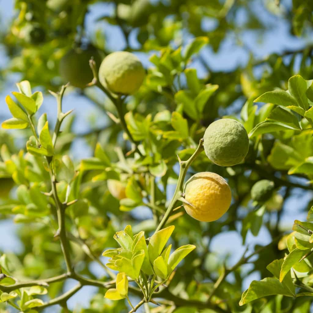 Organic bergamot fruit from Italy used in our Earl Grey loose tea blends