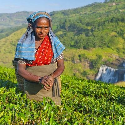 Chateau Rouge Fine Foods UK_tea picker in Assam for our English Breakfast_Organic Black Tea Bags