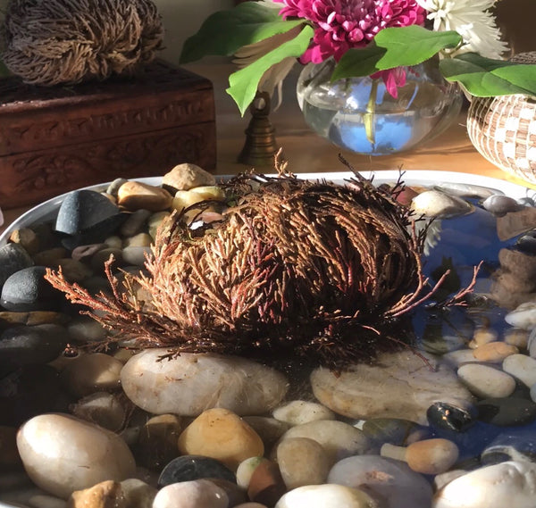 Rose of Jericho: Abundance and Harmony