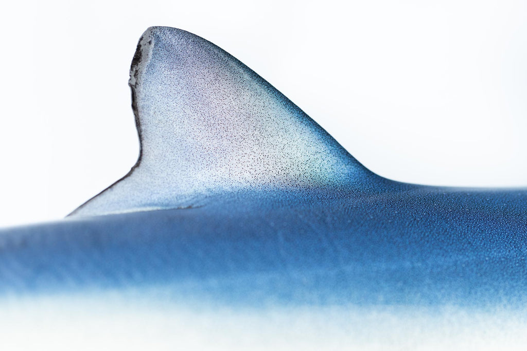 BLUE SHARK FIN DETAIL 1