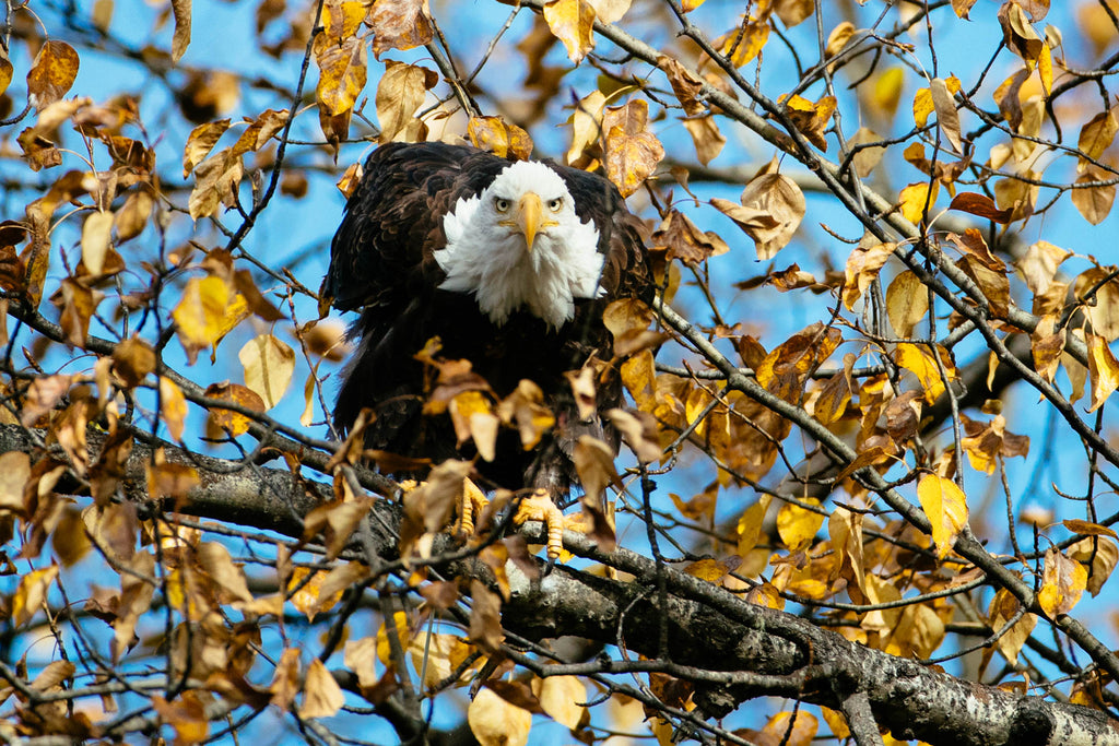 AUTUMN EAGLE