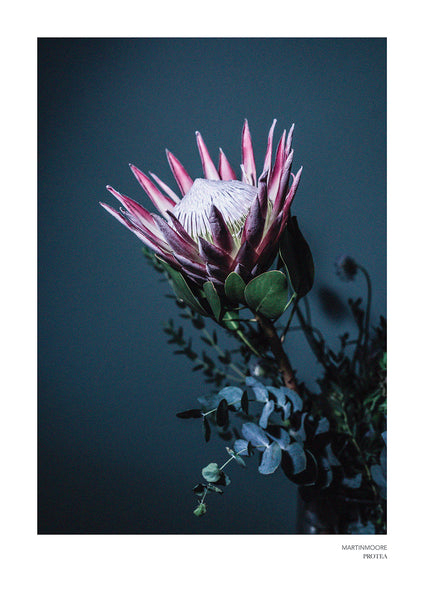 Protea - By Martin Moore