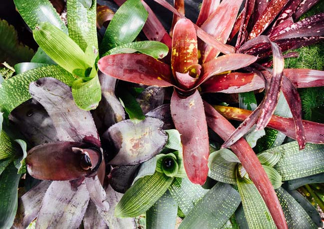 All About Bromeliads: Our New Favorite Bromeliad Genera and How To Care For Them