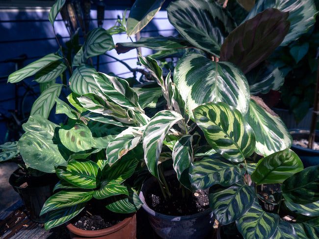 A Guide to Prayer Plants: How to Grow Maranta, Calathea and other Marantaceae Indoors