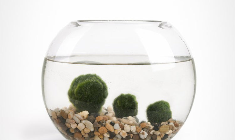 Marimo Moss Ball Care: How to Grow and Care For Marimo Moss