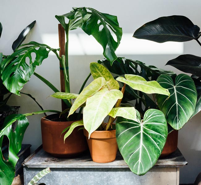 Poisonous Houseplants: 10 Indoor Plants for Pet Owners and Parents to Avoid