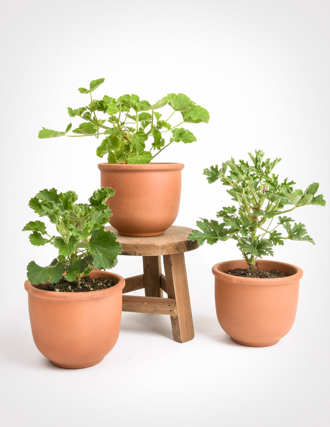 Signs of Spring: Selecting and Caring for Pelargoniums, aka Scented Geraniums