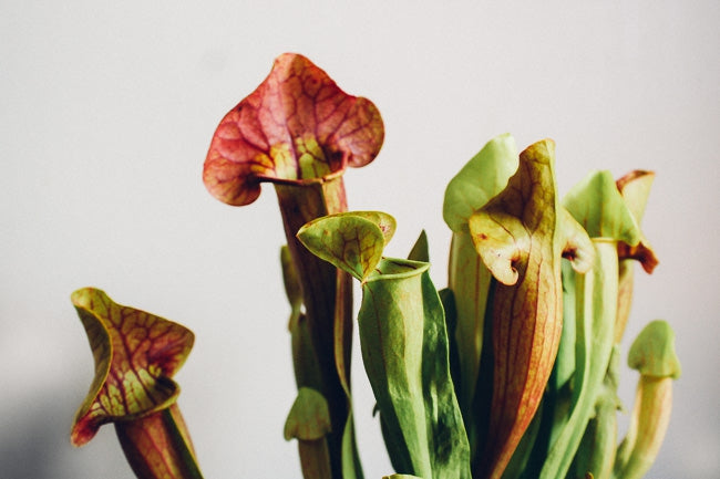 Carnivorous Plants Are Beautiful… and Ruthless!