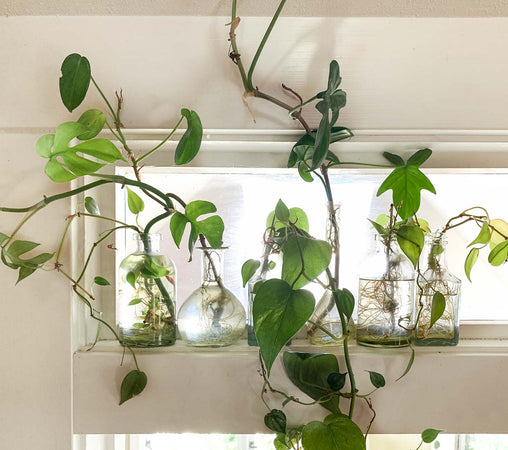 Houseplant Propagation 101: Growing New Roots