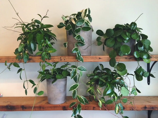 Hoya Plant Care: How to Grow Our Top 5 Cultivars