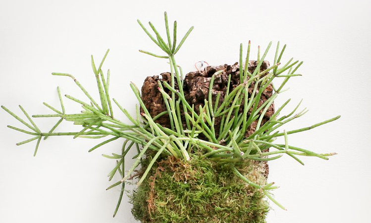 Mounted Jungle Cactus Care: How to Grow Rhipsalis, Hatiora and Other Epiphytes