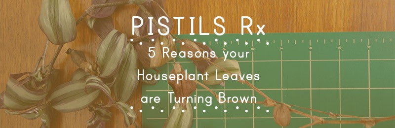 Pistils Rx: 5 Reasons your Houseplant's Leaves are Turning Brown