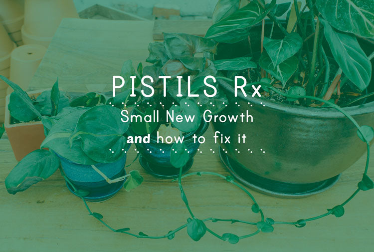 Pistils Rx: Small New Growth on Indoor Plants