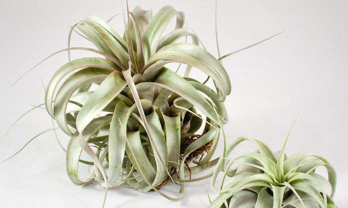 Air Plant Care How To Care For Air Plants Aeriums Tillandsia