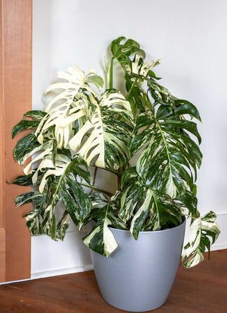 Variegated Indoor Plants: The Science Behind the Latest Houseplant Trend