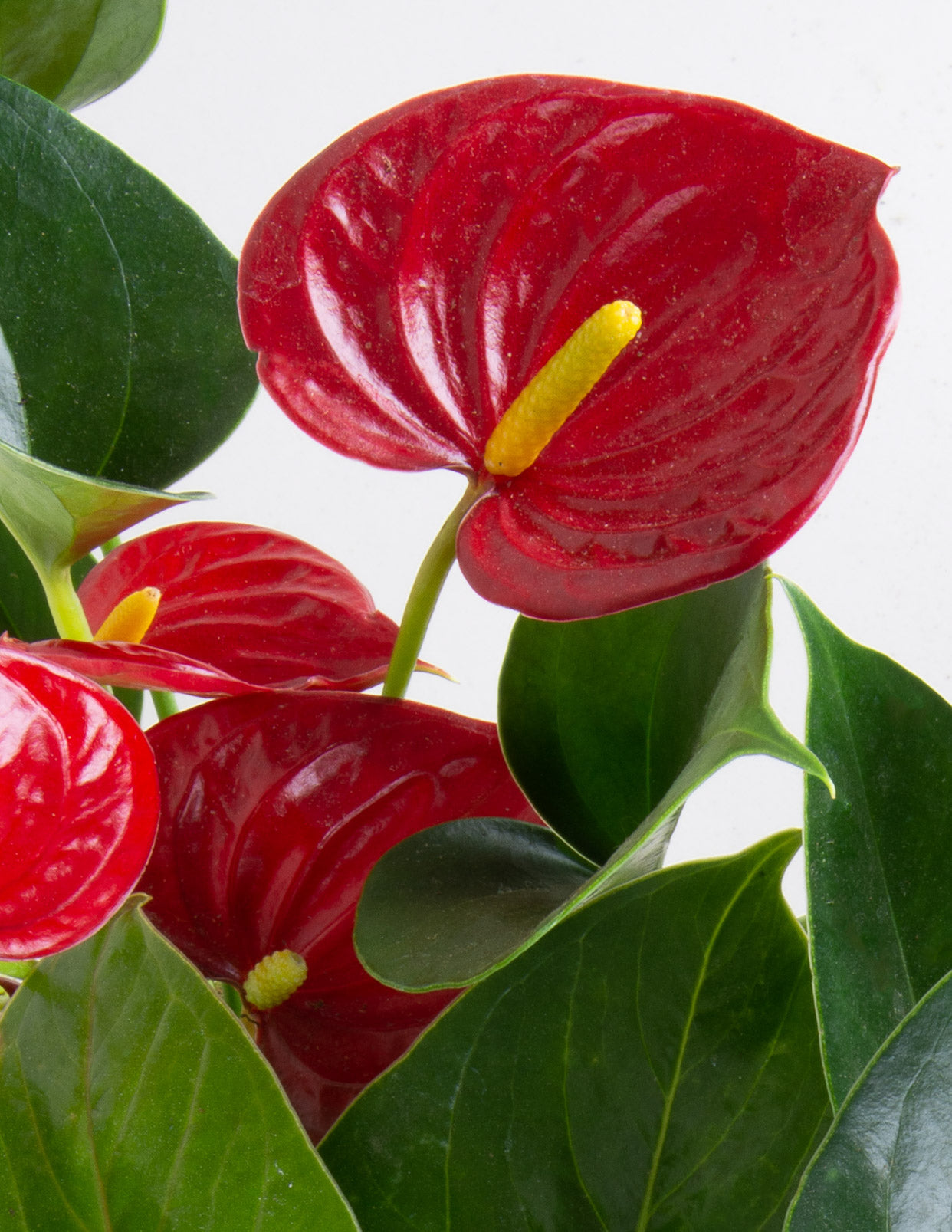 All About Araceae: A Guide to Growing and Caring for Indoor Aroids - Pistils Nursery