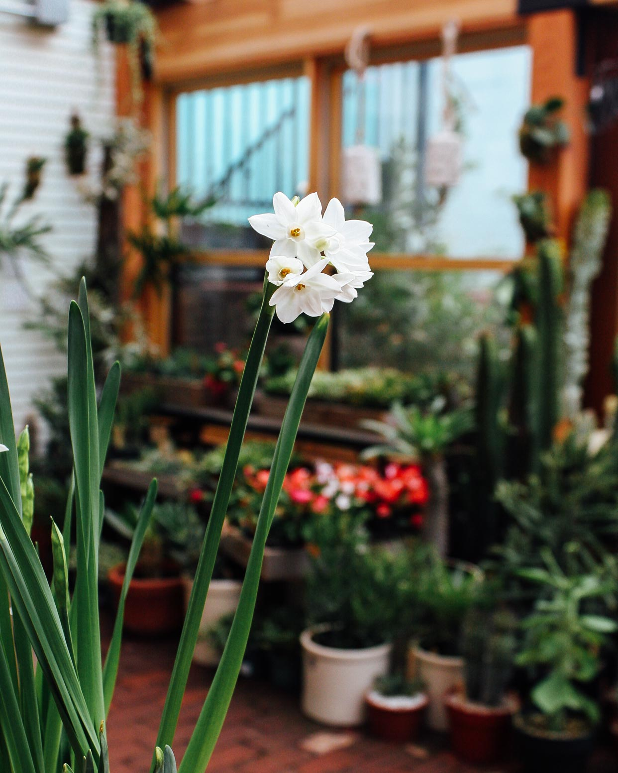 Forcing Bulbs - Amaryllis and Paperwhites - Pistils Nursery