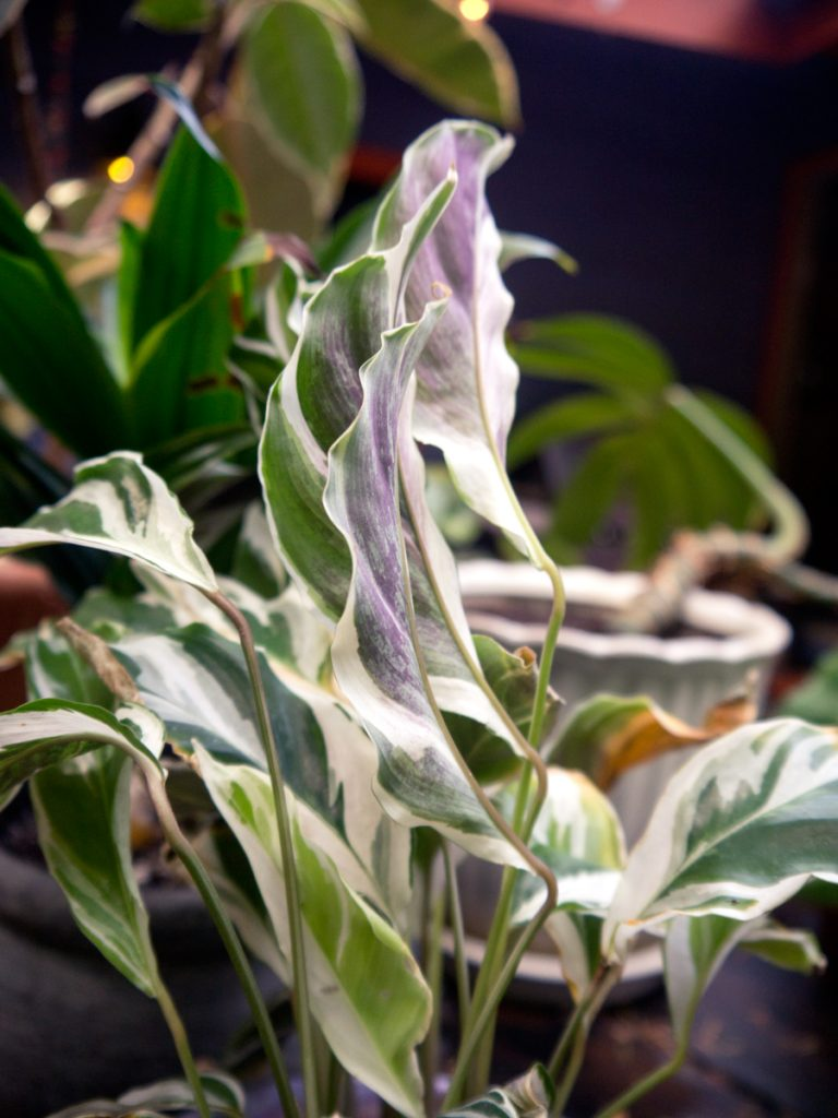 A Guide To Prayer Plants How To Grow Maranta Calathea And Other Mara Pistils Nursery