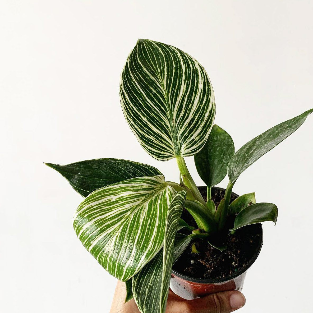 The Best Houseplant Gifts - A Houseplant Holiday Gift Guide - Pistils Nursery