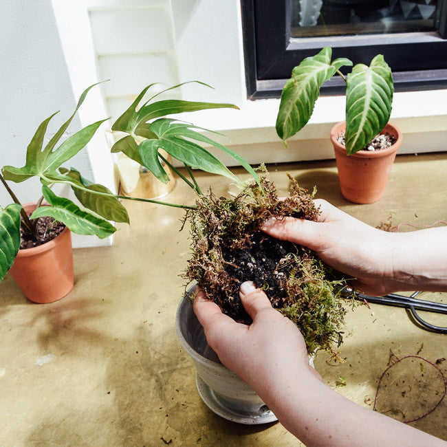 Plantlet Care - How To Pot Up and Care for Juvenile Houseplants - Pistils Nursery
