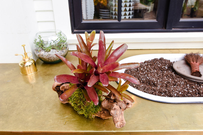 Bromeliad Mount Care: How to Water and Care for Mounted Bromeliads