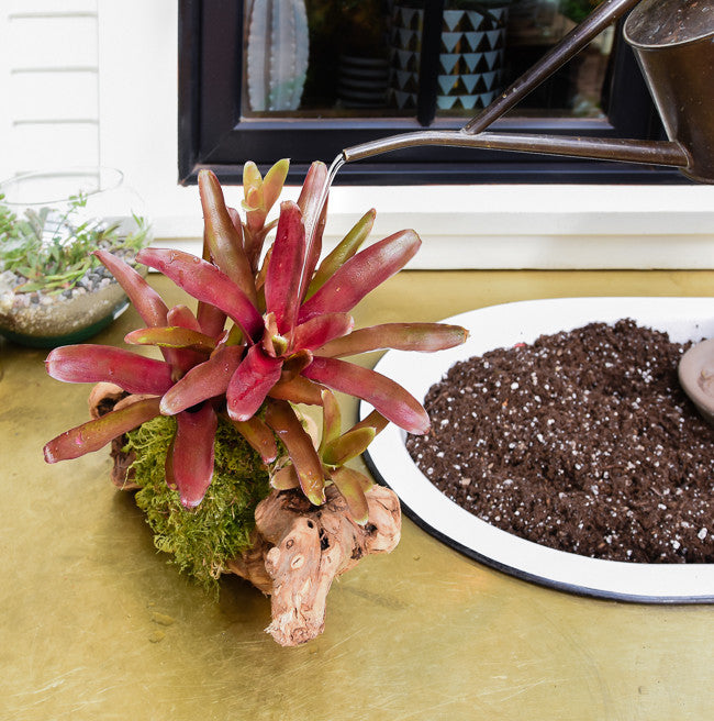 Bromeliad Mount Care - How to Water and Care For Mounted Bromeliads
