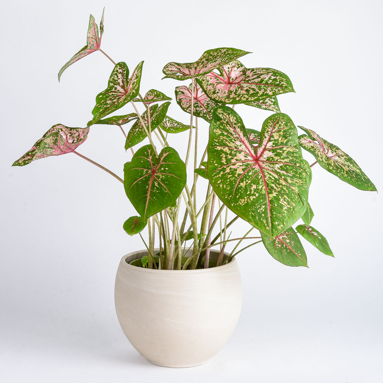Growing and Caring for Tropical Bulbs - Caladium 'Pink Beauty'