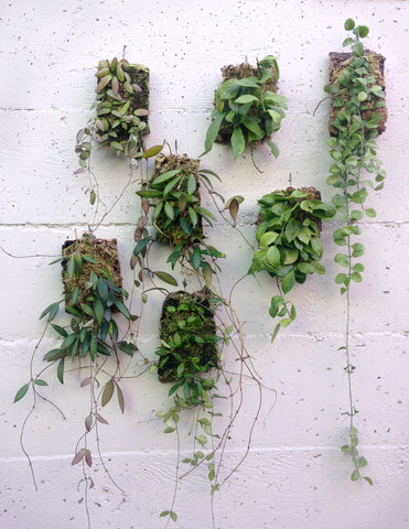 A group of epiphytic hoya and dischidia plaques