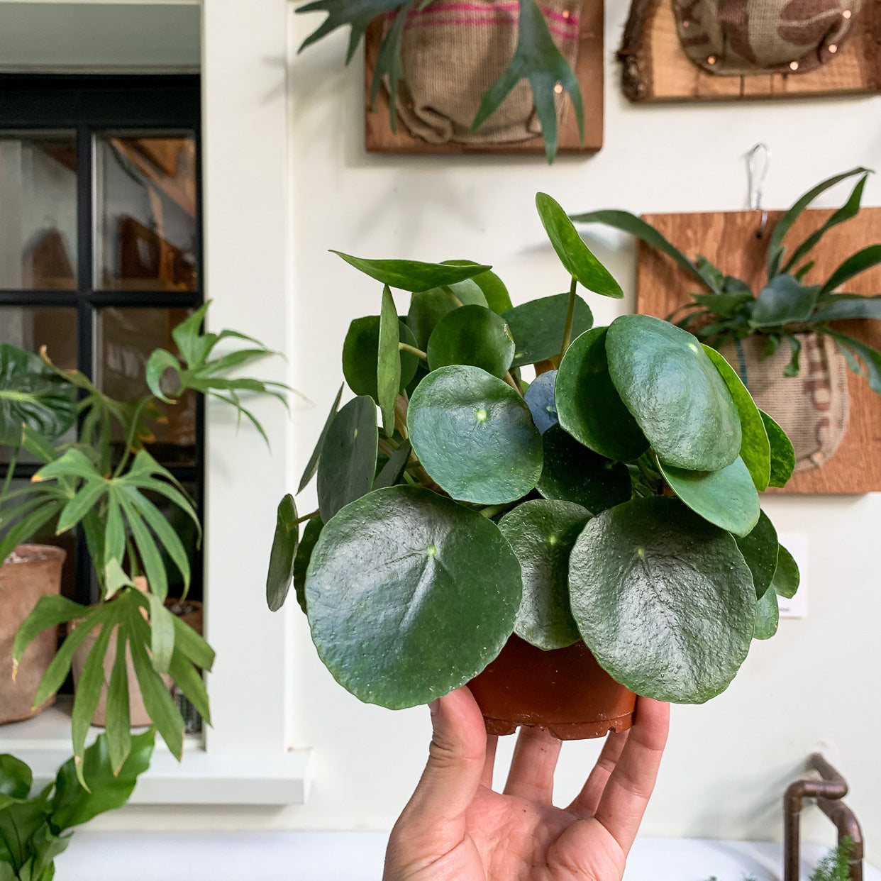 Pilea peperomioides | Turning Over a New Leaf: a Houseplant New Year's Tradition - Pistils Nursery