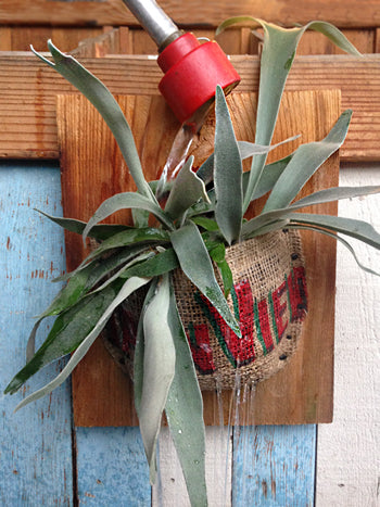 How to water a staghorn fern