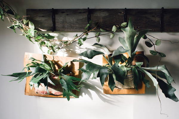Staghorn Fern Care: How To Water, Grow and Care for Staghorn Ferns