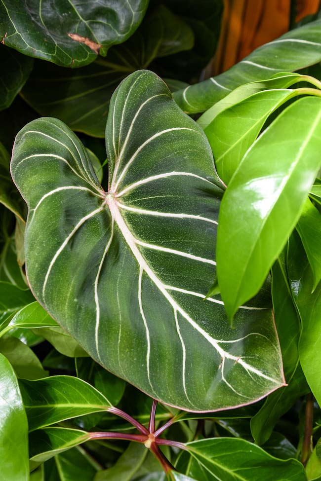 Variegated Indoor Plants The Science Behind The Latest Houseplant Tre Pistils Nursery