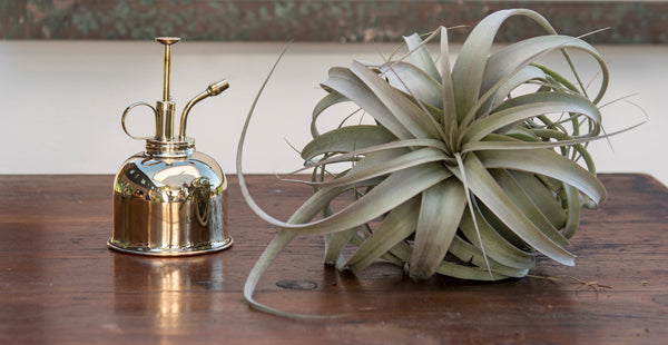 Tillandsia Xerographica and Brass Plant Mister
