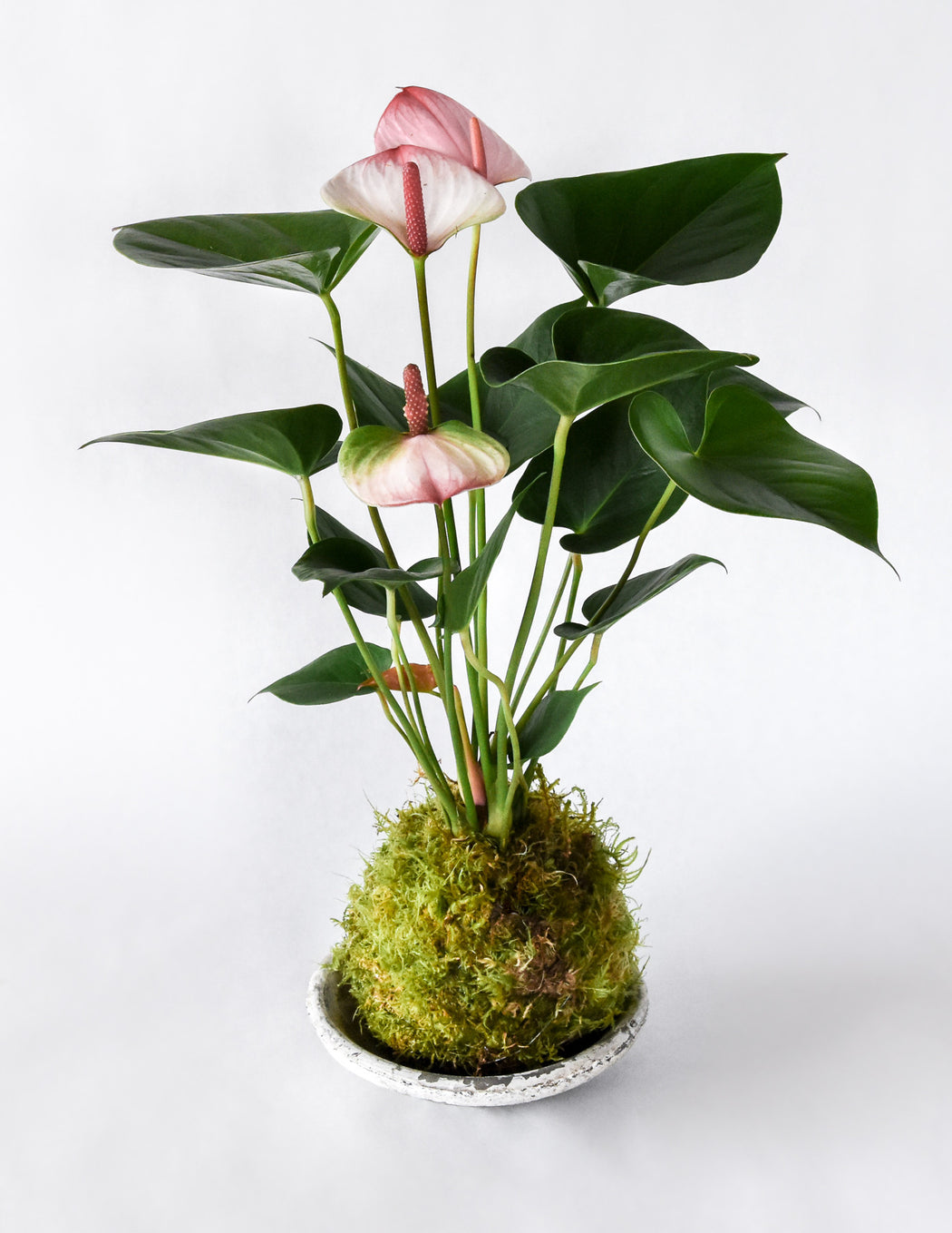 Anthurium Kokedama - White Blush - Pistils Nursery