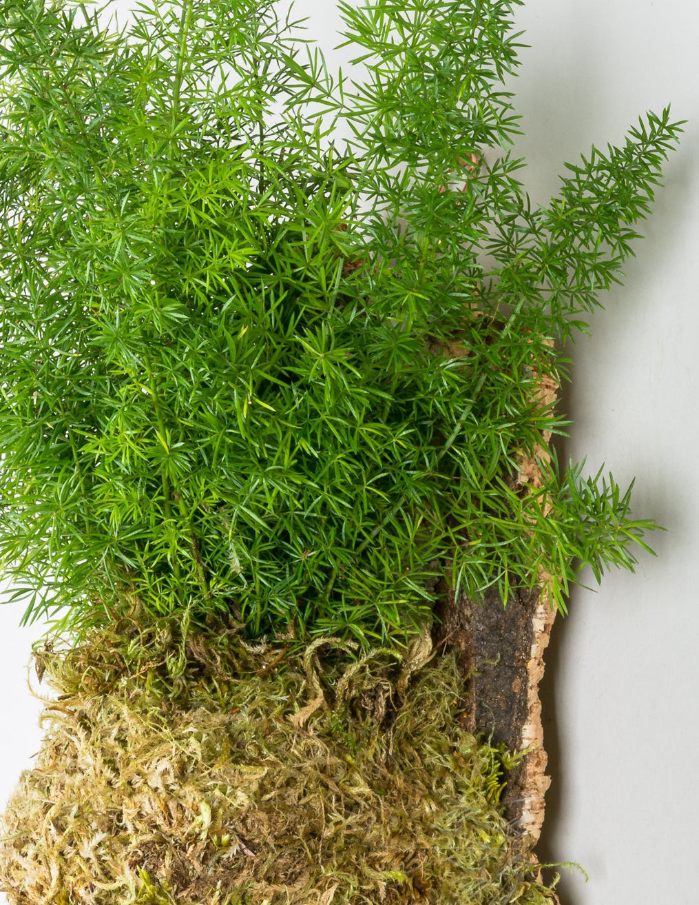 Asparagus Fern Cork Mount Mounted Plants Pistils Nursery