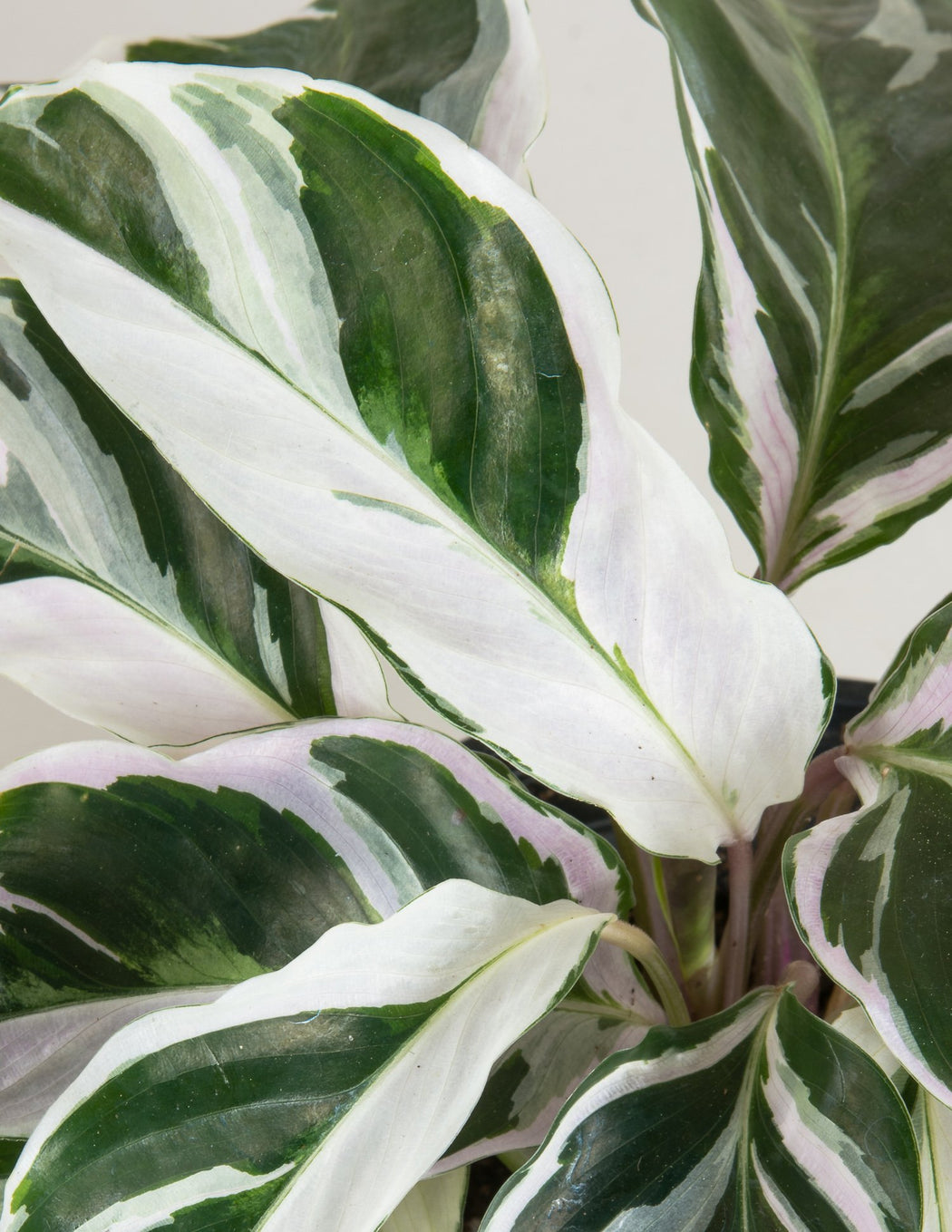 Calathea 'Fusion White' - Pistils Nursery - Variegated Prayer Plant