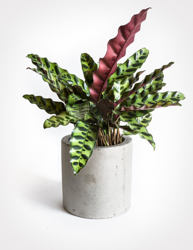 calathea lancifolia rattlesnake plant shop specimen plants pistils nursery. Black Bedroom Furniture Sets. Home Design Ideas
