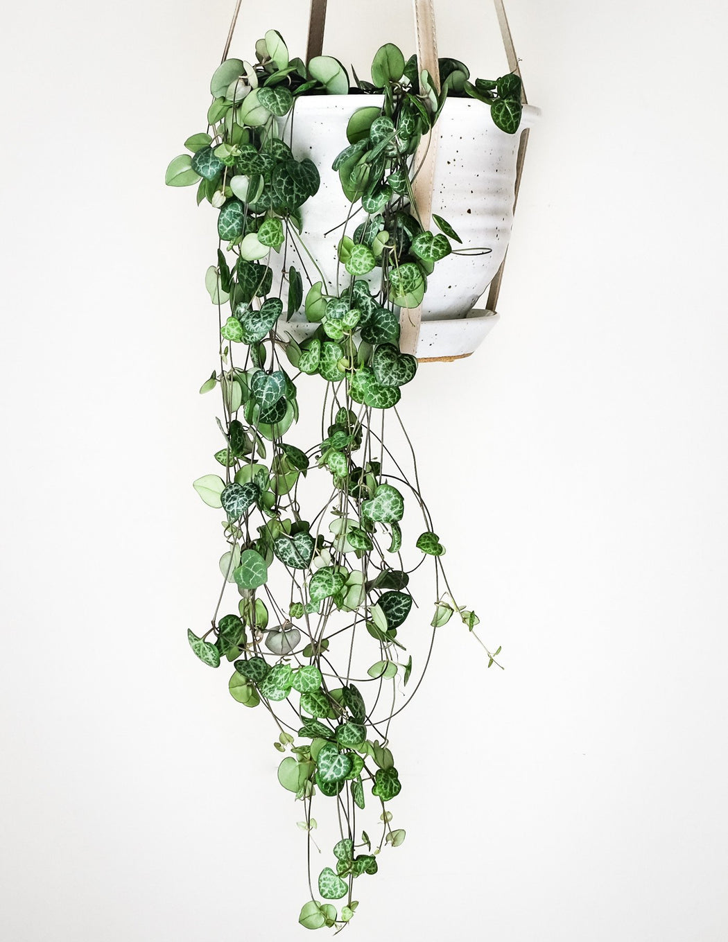 """6/"""" String Of Hearts Ceropegia Woodii"""