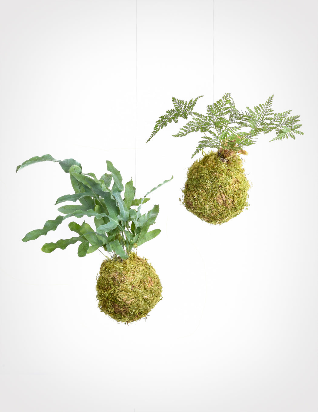 Footed Fern Kokedama - String Gardens - Pistils Nursery