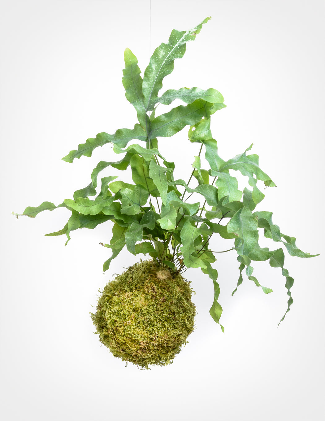 Footed Fern Kokedama - Blue Star Fern - Pistils Nursery