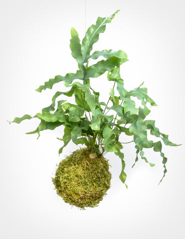 Footed Fern Kokedama