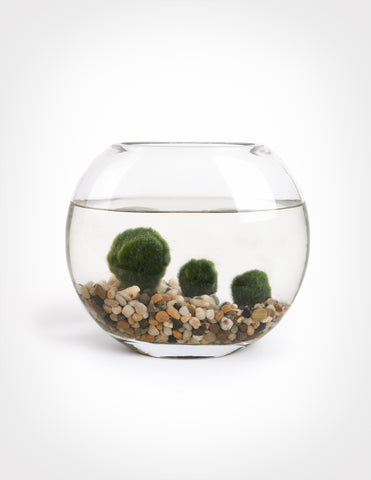 Marimo Moss Ball in Moon Vase - Pistils Nursery