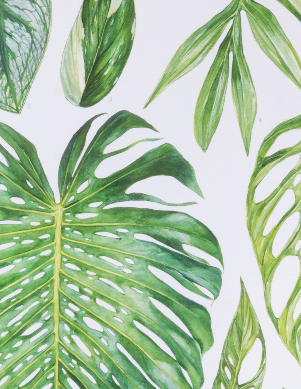 Monstera species botanical print - Aaron Aspley - Pistils Nursery