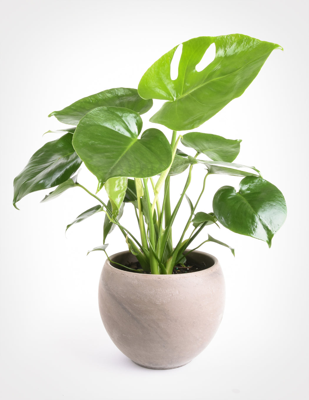 Monstera deliciosa - Swiss Cheese Plant - Pistils Nursery - Split-Leaf Aroid