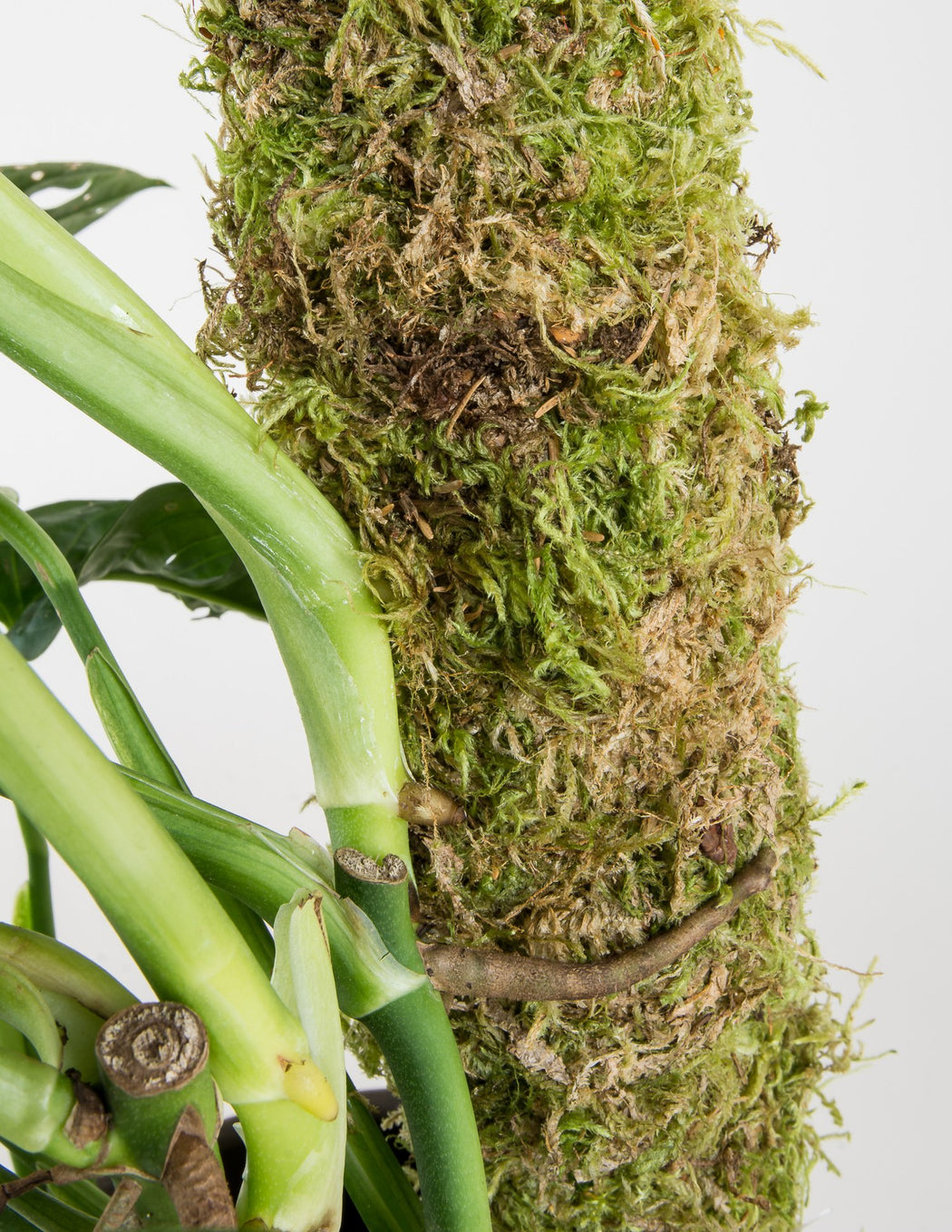 Moss Pole - 2 Feet - Support for Climbing Plants - Pistils Nursery